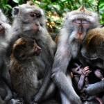 Affenmütter im Affenwald von Ubud, Indonesien