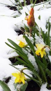 Osterblume und Tulpe