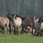 Wildpferdebahn Dülmen