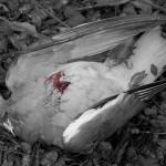 Friede ihren Federn