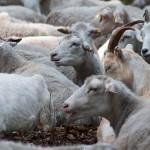 Eingepferchte Schafe