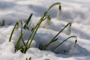Schneeglöckchen