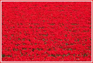 Das Rote (Tulpen)Meer