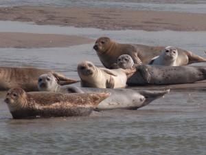 Seehunde vor Langeness