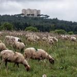 Schafe vor dem Castel del Monte
