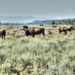 Bisonherde (Wyoming)