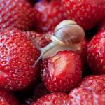 Schnecke auf Erdbeeren